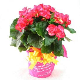 リーガースベゴニア(リーガスベゴニア)5号鉢・ピンク「幸福な日々」の花言葉※11月15日より順次発送☆誕生日・結婚祝・出産祝。お歳暮ギフトに♪【送料無料】【楽ギフ_メッセ入力】