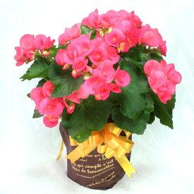 リーガースベゴニア(リーガスベゴニア)5号鉢・薄ピンク「幸福な日々」の花言葉※11月15日より順次発送☆誕生日・結婚祝・出産祝。お歳暮ギフトに♪☆【送料無料】【楽ギフ_メッセ入力】