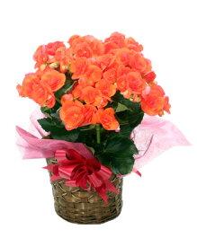 リーガースベゴニア(リーガスベゴニア)5号鉢・オレンジ(橙)※3月5日より順次発送☆誕生日・結婚祝・出産祝。母の日ギフトに♪☆【送料無料】【楽ギフ_メッセ入力】