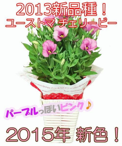 ユーストマチェリービー(鉢物トルコキキョウ)ピンク4号バスケット♪※4月20日頃より発送☆誕生日・結婚祝・出産祝。母の日ギフトに♪【送料無料】【楽ギフ_メッセ入力】