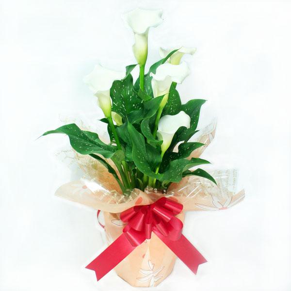 カラー・ホワイト白(スノーストーン)5号鉢【送料無料】産地直送☆母の日ギフト・誕生日プレゼント・各種お祝いに♪※4月下旬より順次発送【楽ギフ_メッセ入力】