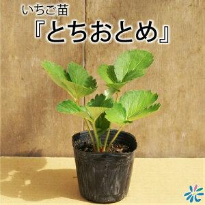 いちご苗【とちおとめ】9cmポット苗×3