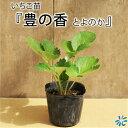 いちご苗【豊の香 】9cmポット苗×3