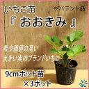 いちご苗【 おおきみ 】9cmポット苗×3ポット