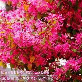 赤葉紅花トキワマンサク H0.2m ポット苗 生垣 目隠し グランドカバー 低木 庭木 常緑樹