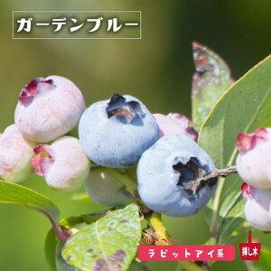 【ガーデンブルー】 ラビットアイ系 2年生挿木苗 ブルーベリー