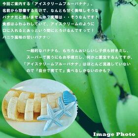 バナナの木【アイスクリームブルーバナナ】カット苗石垣島から直送代引不可・着日指定日不可