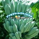 ■本数限定■【バナナ苗】 アイスクリームブルーバナナ 鉢苗 耐寒性 果樹苗木 熱帯果樹