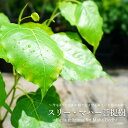 インドボダイジュ スリー マハー 菩提樹 ポット苗