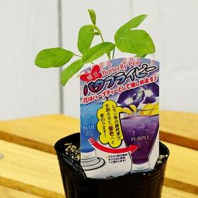 【バタフライピー】一重咲き3号ポット苗