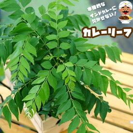 ハーブ カレーリーフ 香辛料 スパイス 珍しい 柑橘 苗 苗木
