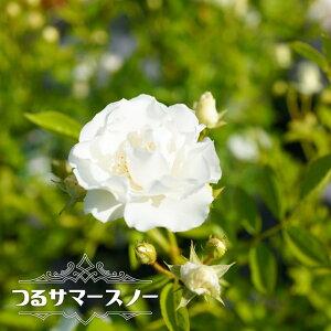 【バラ苗】 つるサマースノー 大苗 つるバラ トゲが少ないから安心♪ 白色 強健 バラ 苗 つるばら 薔薇 np 【予約販売12〜翌1月頃入荷予定】