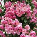 【バラ苗】 アンジェラ 大苗 つるバラ 四季咲き ピンク 強健 バラ 苗 つるばら 薔薇 np 【予約販売12〜翌1月頃入荷予定】