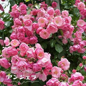 【バラ苗】 アンジェラ 大苗 つるバラ 四季咲き ピンク 強健 バラ 苗 つるばら 薔薇 np 【予約販売12月〜翌1月頃入荷予定】