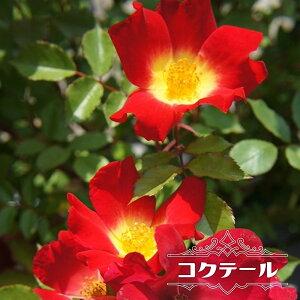 【バラ苗】 コクテール (カクテル) 大苗 つるバラ 四季咲き 赤色 バラ 苗 つるばら 薔薇 np 【予約販売12〜翌1月頃入荷予定】