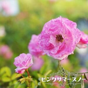 【バラ苗】 ピンクサマースノー (春かすみ) 大苗 つるバラ トゲが少ない 強健 ピンク 薔薇 バラ苗木 np