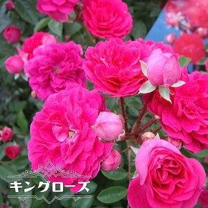 【バラ苗】 キングローズ 大苗 つるバラ トゲが少ない 耐陰性 ピンク バラ 苗 つるばら 薔薇 np