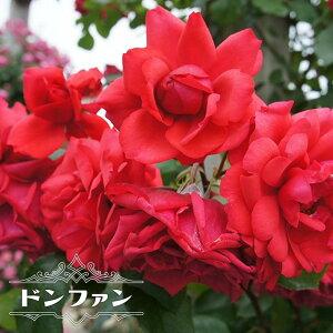 【バラ苗】 ドンファン つるバラ トゲが少ない 四季咲き 赤色 強健 バラ 苗 つるばら 薔薇 np 【予約販売12〜翌1月頃入荷予定】