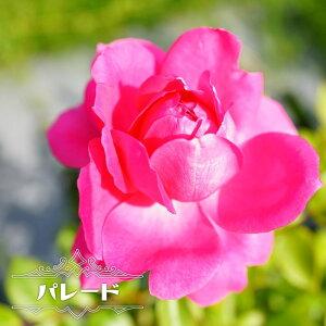 【バラ苗】 パレード 長尺苗 つるバラ 四季咲き ピンク 強健 バラ 苗 つるばら 薔薇 【大型宅配便】 沖縄・離島不可