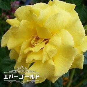 【バラ苗】 エバーゴールド 大苗 つるバラ 黄色 トゲが少ない 薔薇 バラ苗木 np