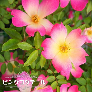 【バラ苗】 ピンクコクテール 大苗 つるバラ トゲが少ない 四季咲き ピンク バラ 苗 つるばら np 【予約販売12〜翌1月頃入荷予定】