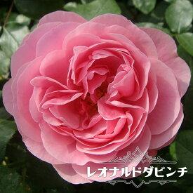 【バラ苗】 レオナルドダビンチ 大苗 つるバラ ピンク バラ 苗 つるばら 薔薇 np 【予約販売12月〜翌1月頃入荷予定】