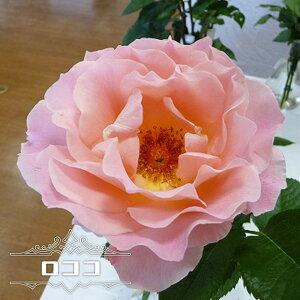 【バラ苗】 ロココ 1年生 新苗 つるバラ ピンク バラ 苗 つるばら 薔薇