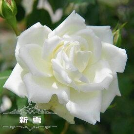 【バラ苗】 新雪 大苗 つるバラ 四季咲き 白色 強健 バラ 苗 つるばら 薔薇 np 【予約販売12月〜翌1月頃入荷予定】