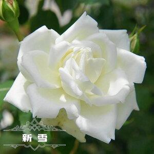 四季咲きつるバラ 【新雪】 長尺苗 【大型宅配便】 沖縄・離島不可