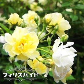 【バラ苗】 フィリスバイド 3年生大苗 つるバラ 黄色 バラ 苗 つるばら 薔薇 耐寒性強 バラ苗木 ラベルなし 【予約販売9月頃入荷予定】