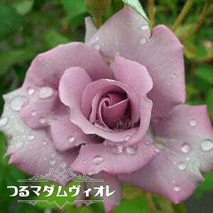 【バラ苗】 つるマダムヴィオレ 大苗 つるバラ トゲが少ない 紫色 バラ 苗 つるばら 薔薇 np 【予約販売12〜翌1月頃入荷予定】