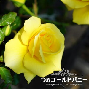 【バラ苗】 つるゴールドバニー 大苗 つるバラ トゲが少ない 超多花性 黄色 強健 バラ 苗 np