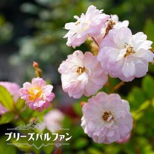 四季咲き つるバラ 【ブリーズパルファン】 2年生大苗 【予約販売12〜翌1月頃入荷予定】