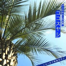 ヤシの木 【 ココスヤシ 】 ポット苗 常緑樹 観葉植物 耐寒性 シンボルツリー