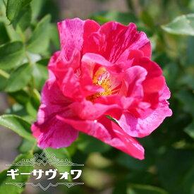 【バラ苗】 ギーサヴォワ 3年生大苗 デルバール (Del) 四季咲き ピンク 強香 強健 バラ 苗 薔薇 ラベルなし