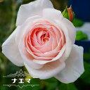【バラ苗】 ナエマ (大輪 デルバール ) (Del) 大苗 6号ポット 四季咲き ピンク 強香 強健
