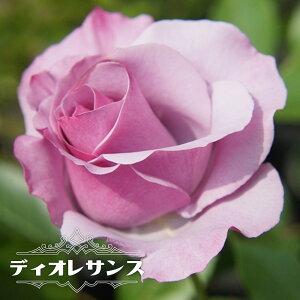 【バラ苗】 ディオレサンス 大苗 デルバール (Del) 四季咲き 紫色 強香 薔薇 バラ苗木