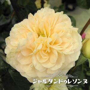 【バラ苗】 ジャルダンドゥレソンヌ 大苗 デルバール (Del) 四季咲き 白色 強香 強健 薔薇 バラ苗木