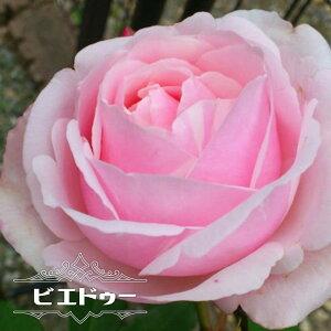 【バラ苗】 ビエドゥー 大苗 デルバール (Del) 四季咲き ピンク 強香 強健 バラ 苗 薔薇 バラ苗木