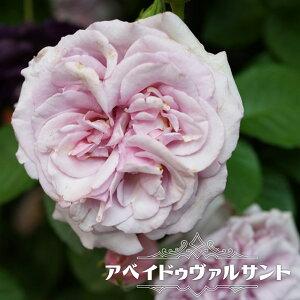 【バラ苗】 アベイドゥヴァルサント 大苗 ドリュ フレンチローズ Dor 四季咲き ピンク 強香 薔薇 バラ苗木