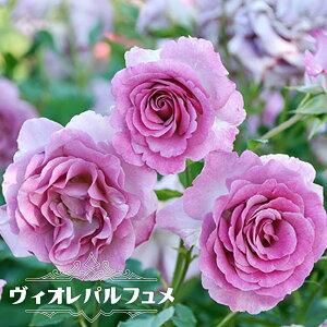 【バラ苗】 ヴィオレパルフュメ 大苗 ドリュ フレンチローズ Dor 四季咲き 紫色 強香 薔薇 バラ苗木