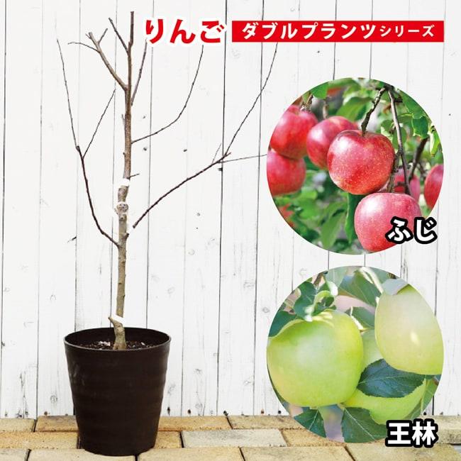 【ダブルプランツ】 りんご 苗木 王林&ふじ 接ぎ木 苗 果樹苗木 林檎