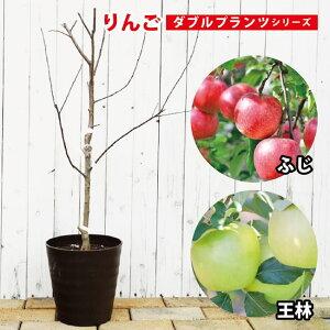 【ダブルプランツ】 りんご 苗木 王林&ふじ 2種接ぎ木 2年生 フレグラーポット鉢植え 林檎