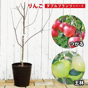 【ダブルプランツ】 りんご 苗木 王林&津軽 2種接ぎ木 2年生 フレグラーポット鉢植え 林檎