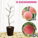 【ダブルプランツ】 桃 苗木 白鳳&白桃2種接ぎ木 2年生 フレグラーポット鉢植え もも