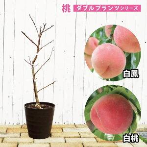 【ダブルプランツ】 桃 苗木 白鳳&白桃 2種接ぎ木 2年生 フレグラーポット鉢植え もも