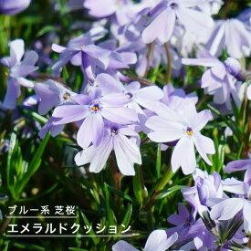 芝桜 ( シバザクラ ) エメラルドクッション 3号ポット苗 宿根草 苗 多年草 耐寒性 常緑 グランドカバー