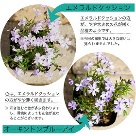 ■送料無料■芝桜(シバザクラ)エメラルドクッション3号ポット苗40ポットセット宿根草苗多年草耐寒性常緑グランドカバー