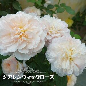 【バラ苗】 ジアレンウィックローズ 大苗 イングリッシュローズ ER 四季咲き