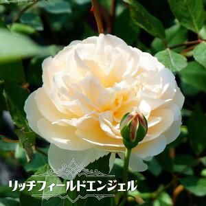 【バラ苗】 リッチフィールドエンジェル 大苗 イングリッシュローズ ER 四季咲き